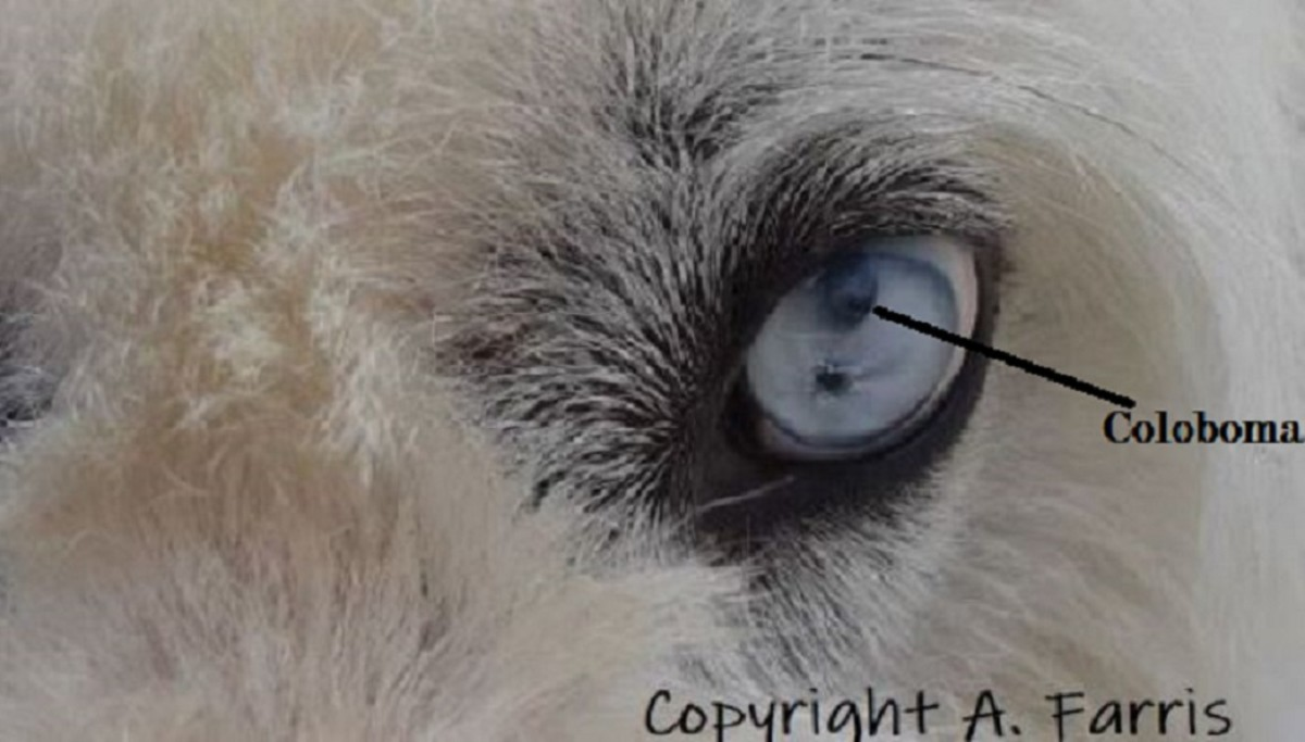 Same dog as above also has a coloboma, a spot due to part of the iris failing to develop