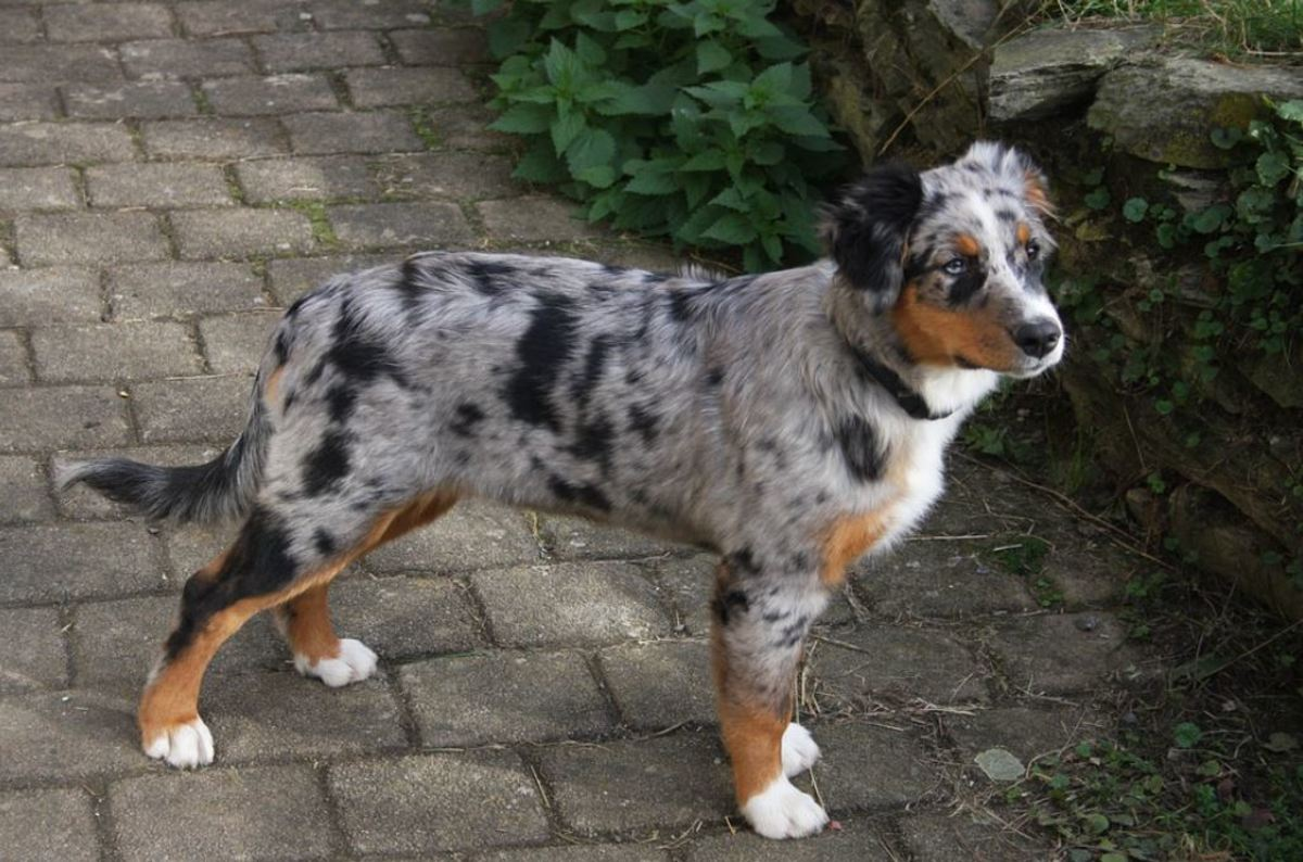 A merle coat is striking, but the merle gene can be responsible for a myriad of eye abnormalities.