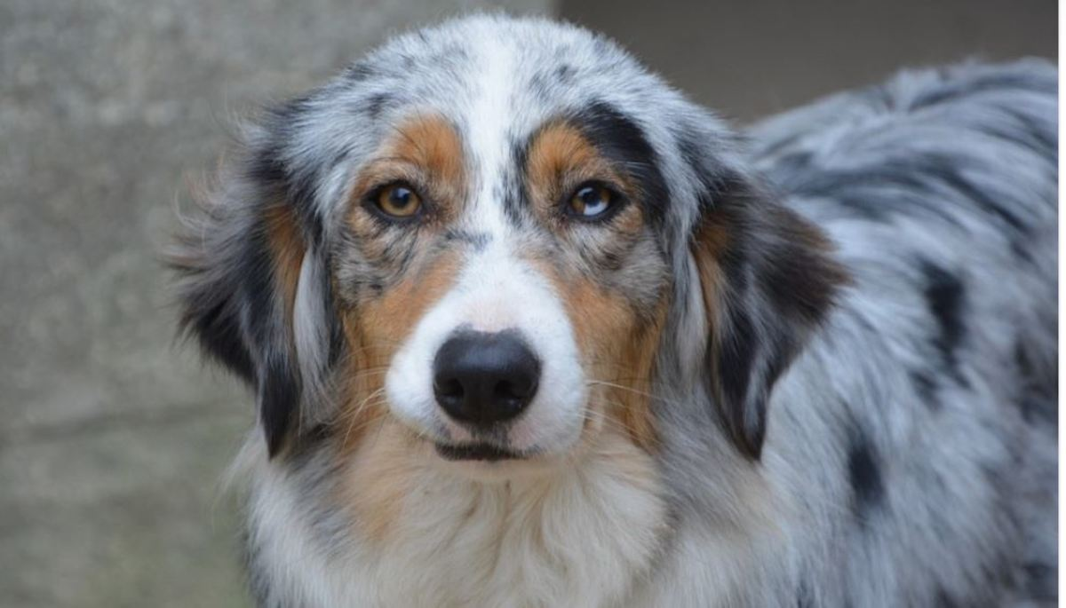 """The right eye of this dog has a blue segment within the brown eye. This is medically termed""""heterochromia iridis."""""""