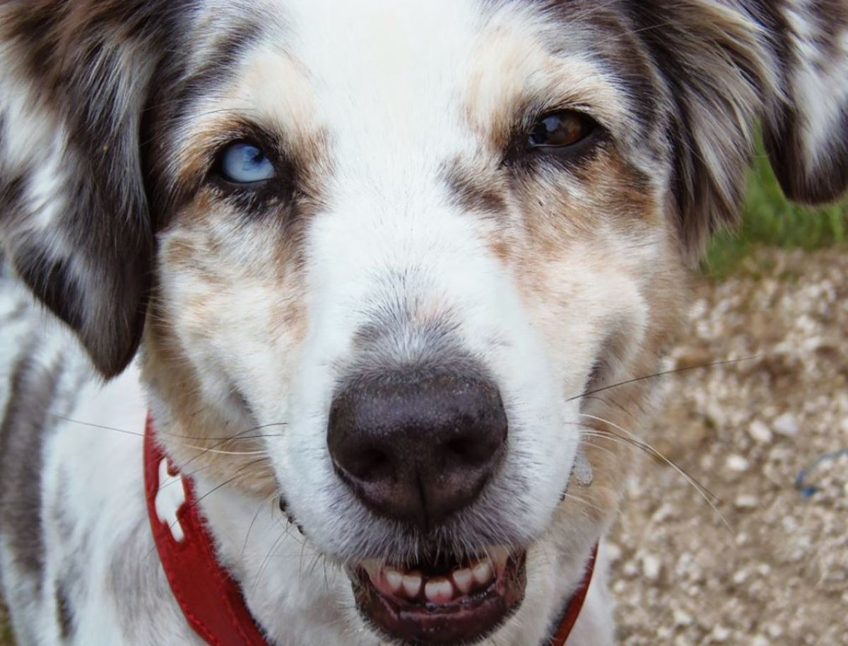 Merle dog with small eyes (microphthalmia).