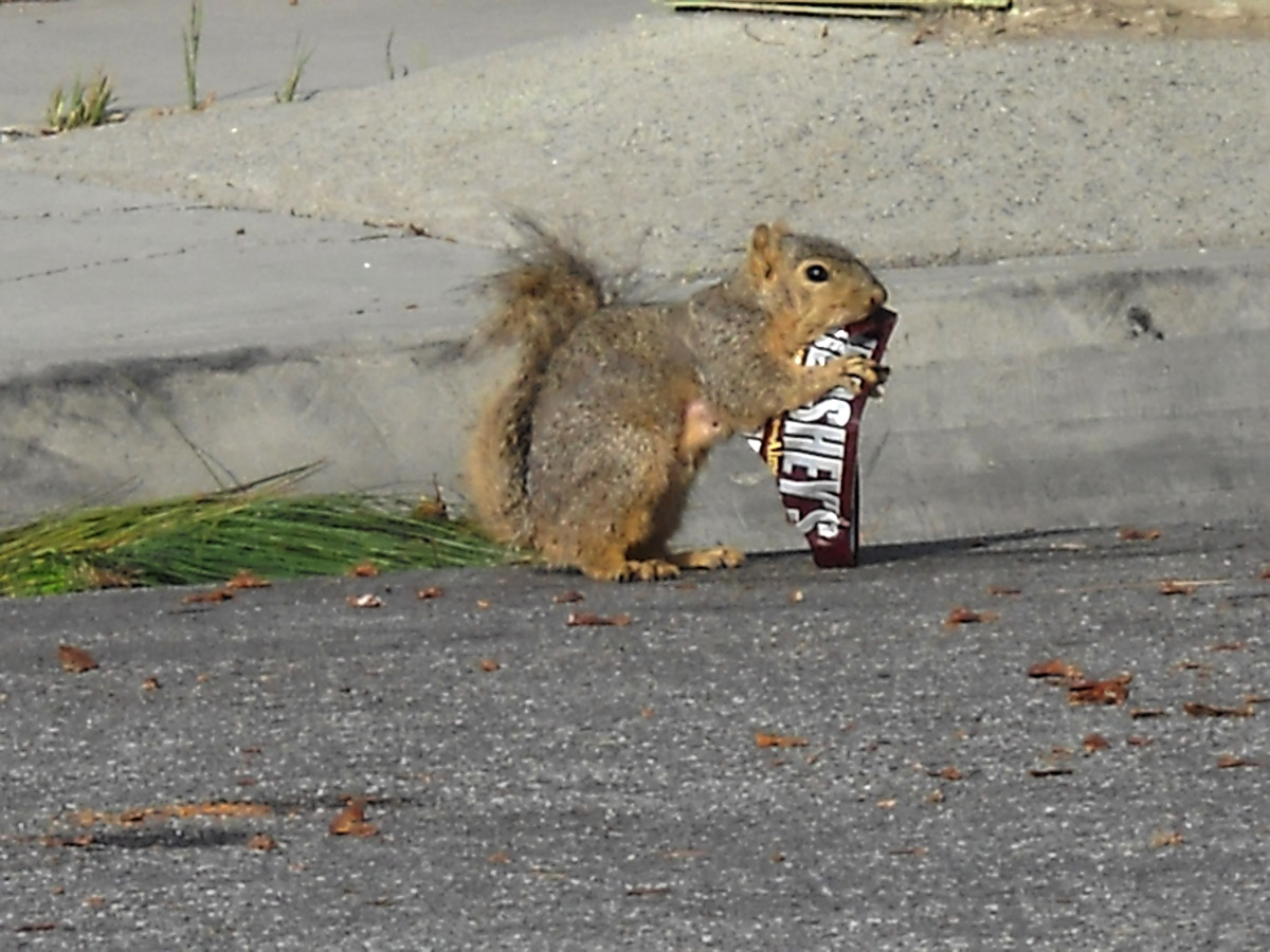Squirrels are attracted to chocolate too!