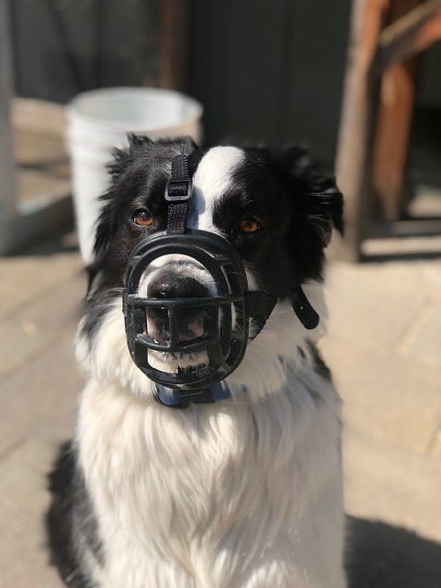 A muzzle can be a good management tool for border collies who bite.