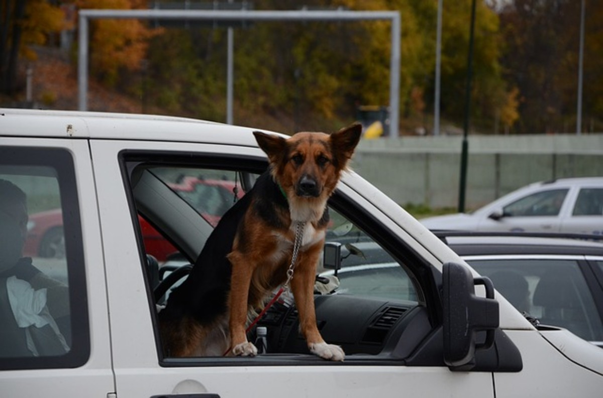 Although there's somebody in the car with this dog, he may jump out at a moment's notice should he get suddenly excited about something