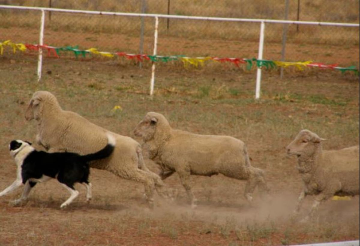 Border collies work mostly along the sides and at the front of the flock.