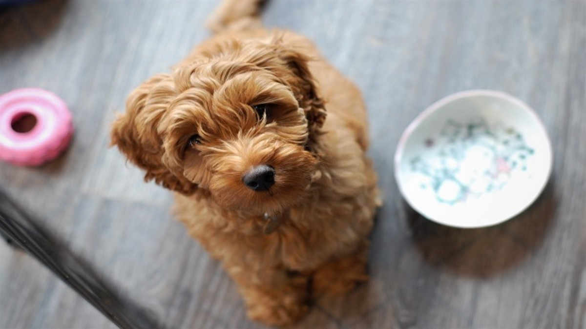 Puppies may have a hard time grasping the concept of peeing on a pee pad