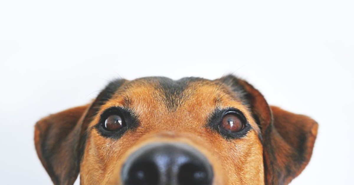 When a dog sniffs, his vomeronasal organ fires a signal to the hypothalamus, an area of the brain known for controlling sex drive
