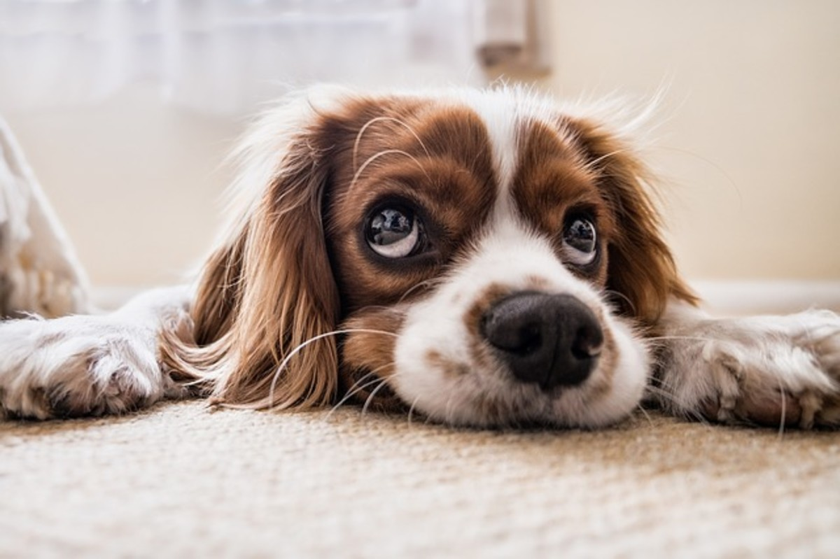 Whiskers over a dog's eyes have an important function