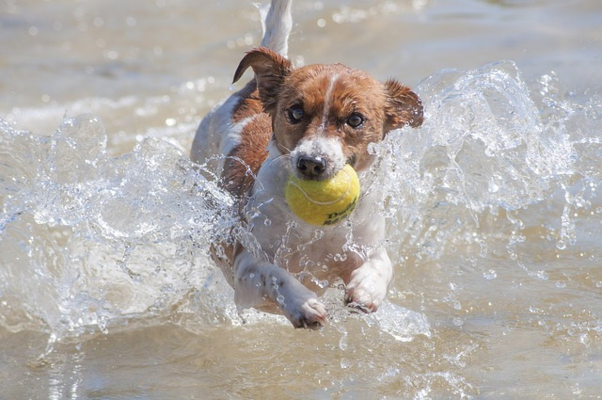 Dogs don't confuse balls with prey animals, but their instincts to chase are deep in their genetic core