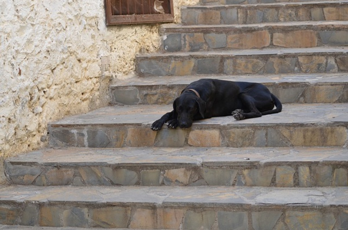 Elderly dogs may develop joint problems as they age or cognitive changes that cause them to become reluctant to use stairs