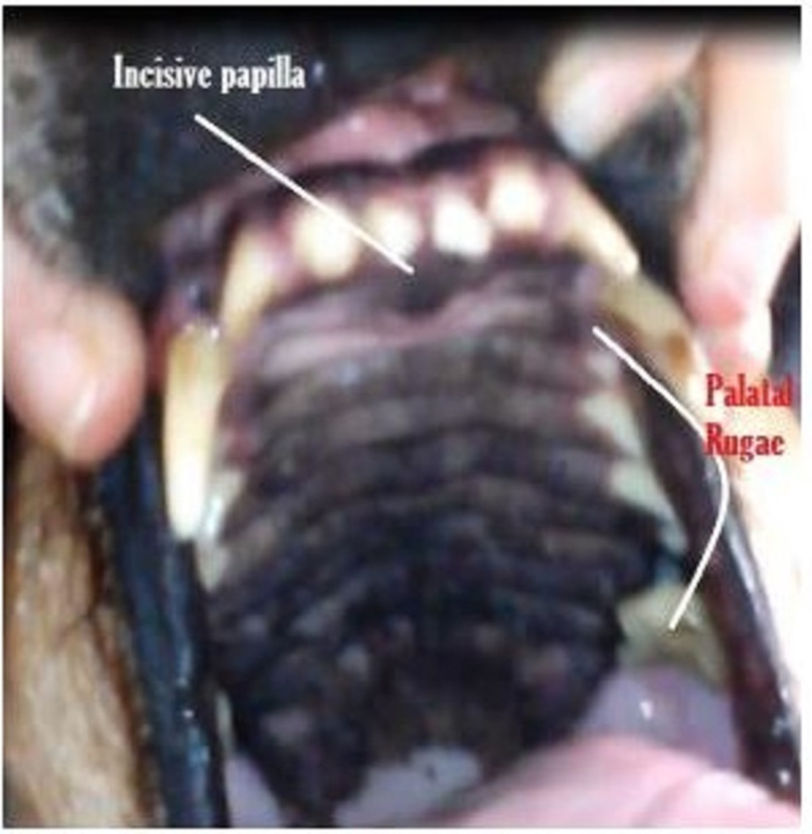 Picture of the incisive papilla in the roof of my dog's mouth. Notice the black bump right behind the top middle incisor teeth.