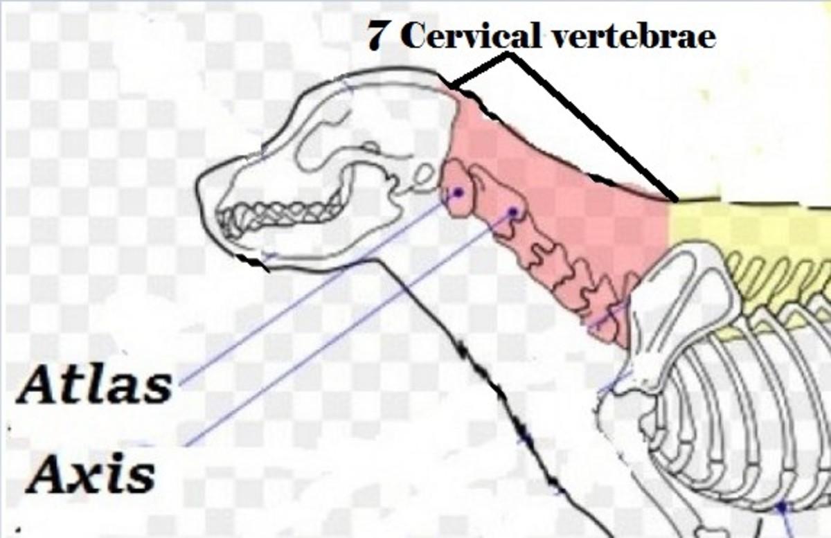 Dogs have 7 cervical vertebrae.