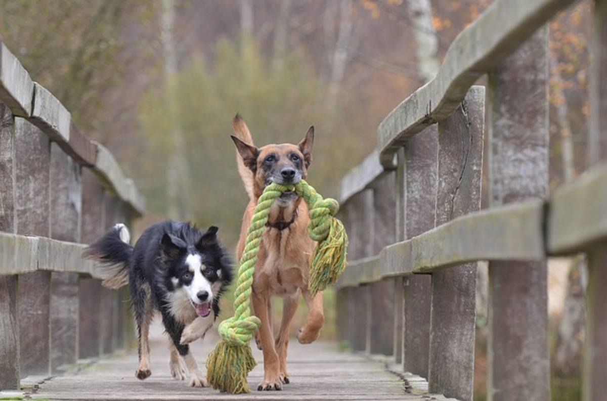 This long tug toy encourages collaborative dog play with both dogs potentially tugging at each end. The game is more fun if played together rather than than one dog having the toy all for himself
