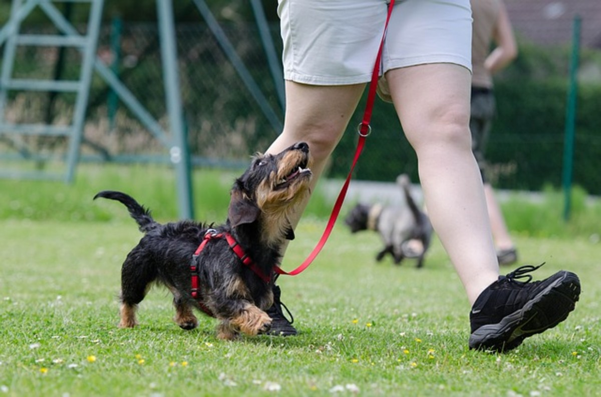 """A dog doing some lovely """"attention heeling."""""""