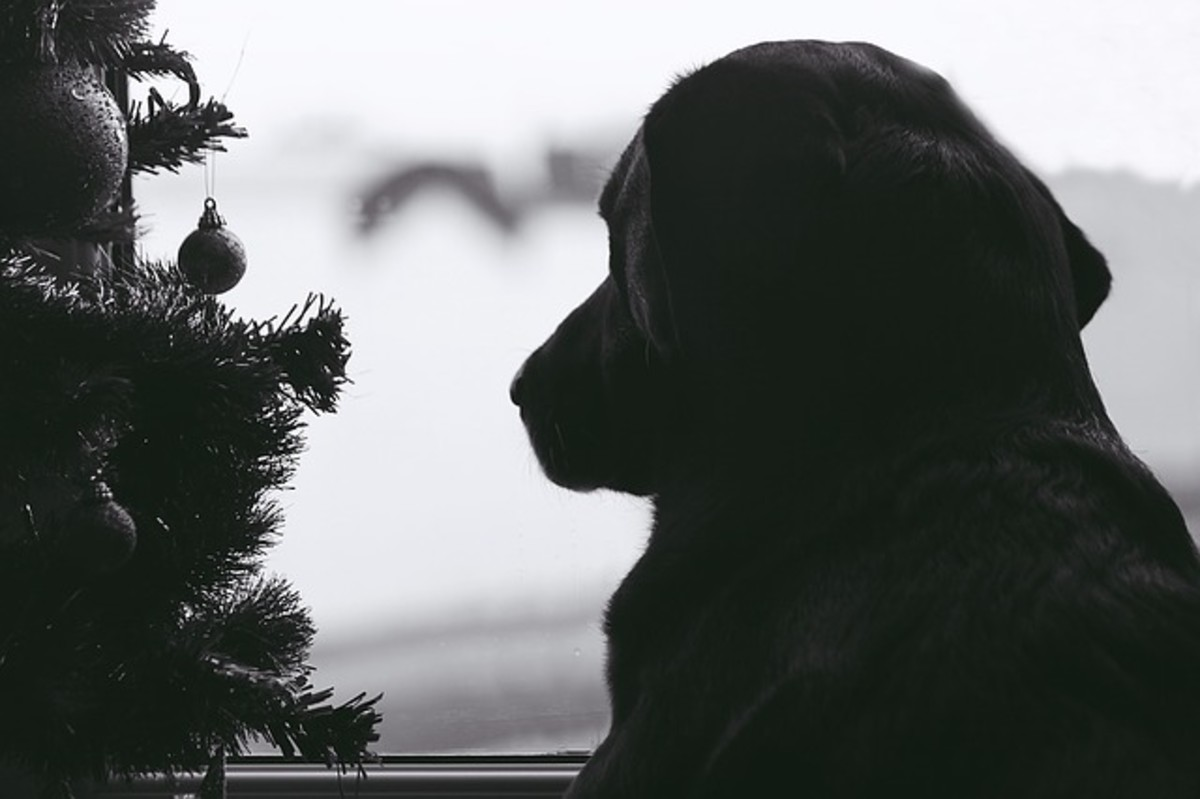 Many dogs discover pine needles around Christmas time