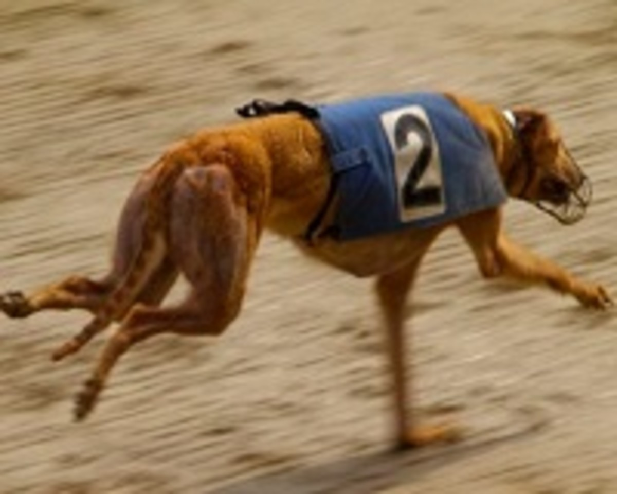 The arched back in greyhounds provides tremendous flexibility.