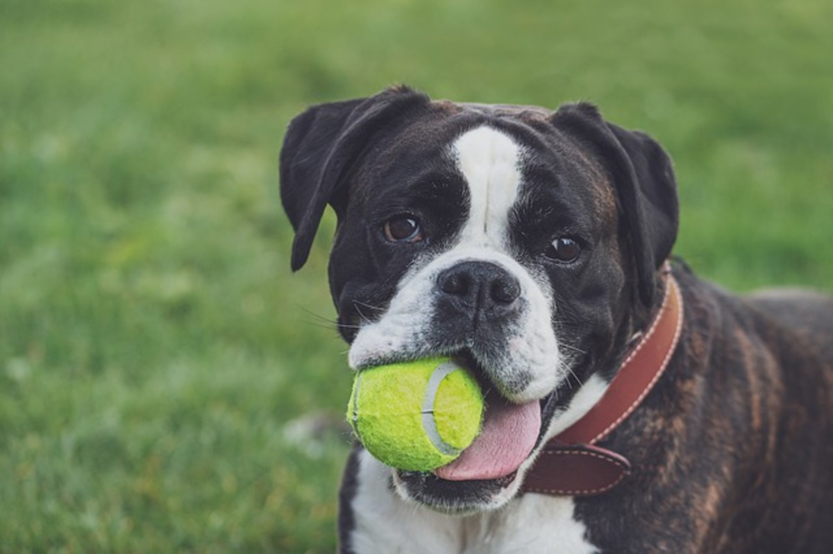 Carefully monitor your dog to ensure he doesn't use the tennis ball as a chew toy