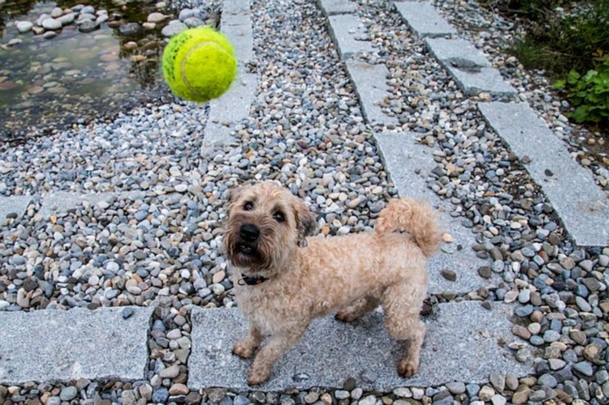 The erratic movement of tennis balls stimulate a dog's prey drive