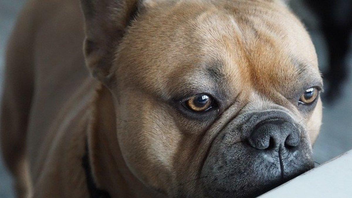 french-bulldog-4291127_640