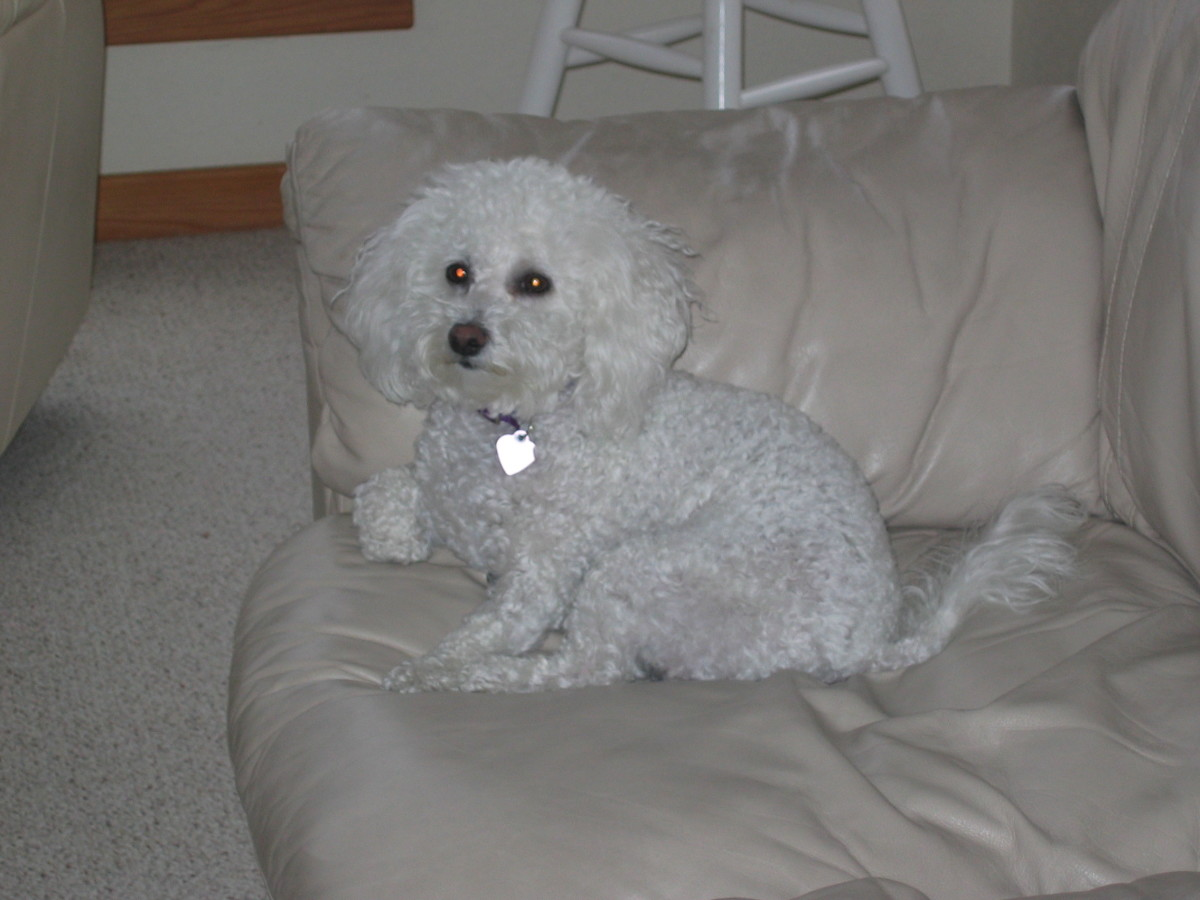 Poodles are in mostly in anagen phase