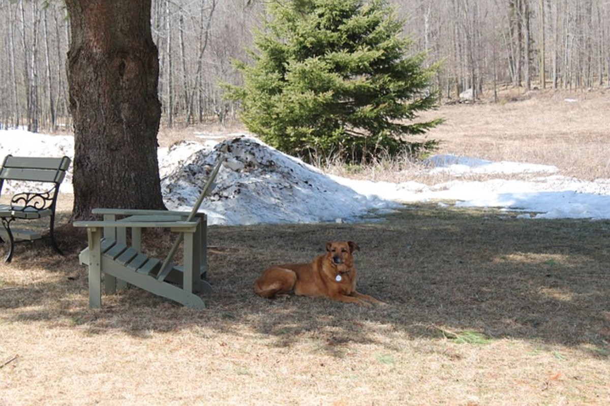 A bored dog is more likely to ingest pine needles