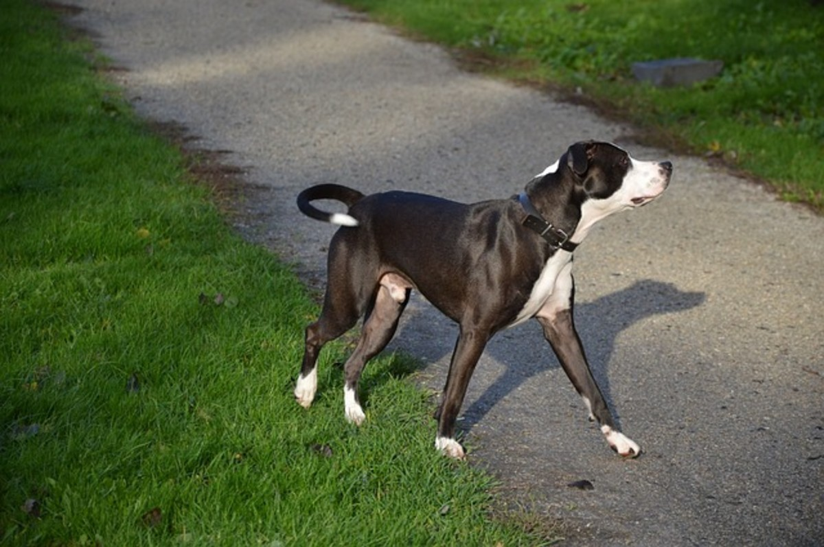 Tail chasing can be seen in dogs who are confined for too long