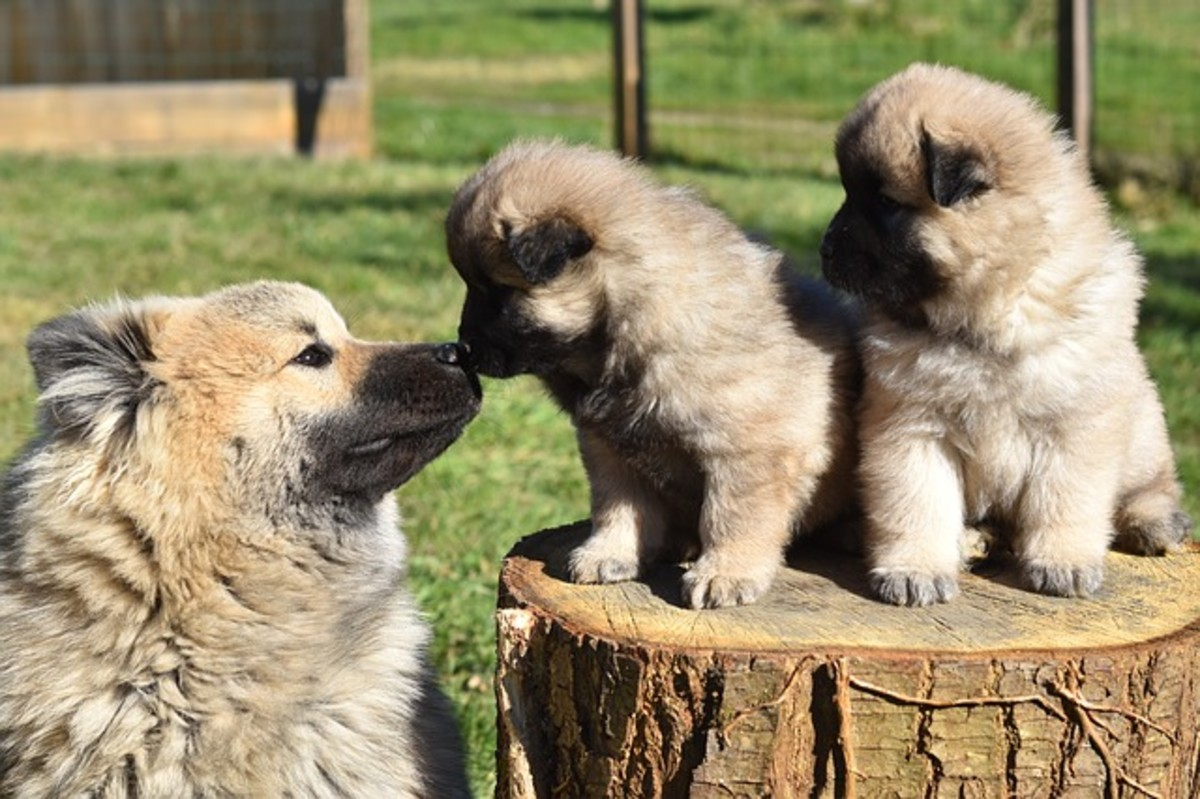 Face licking is a common behavior seen often during the interaction of mother dog and puppies