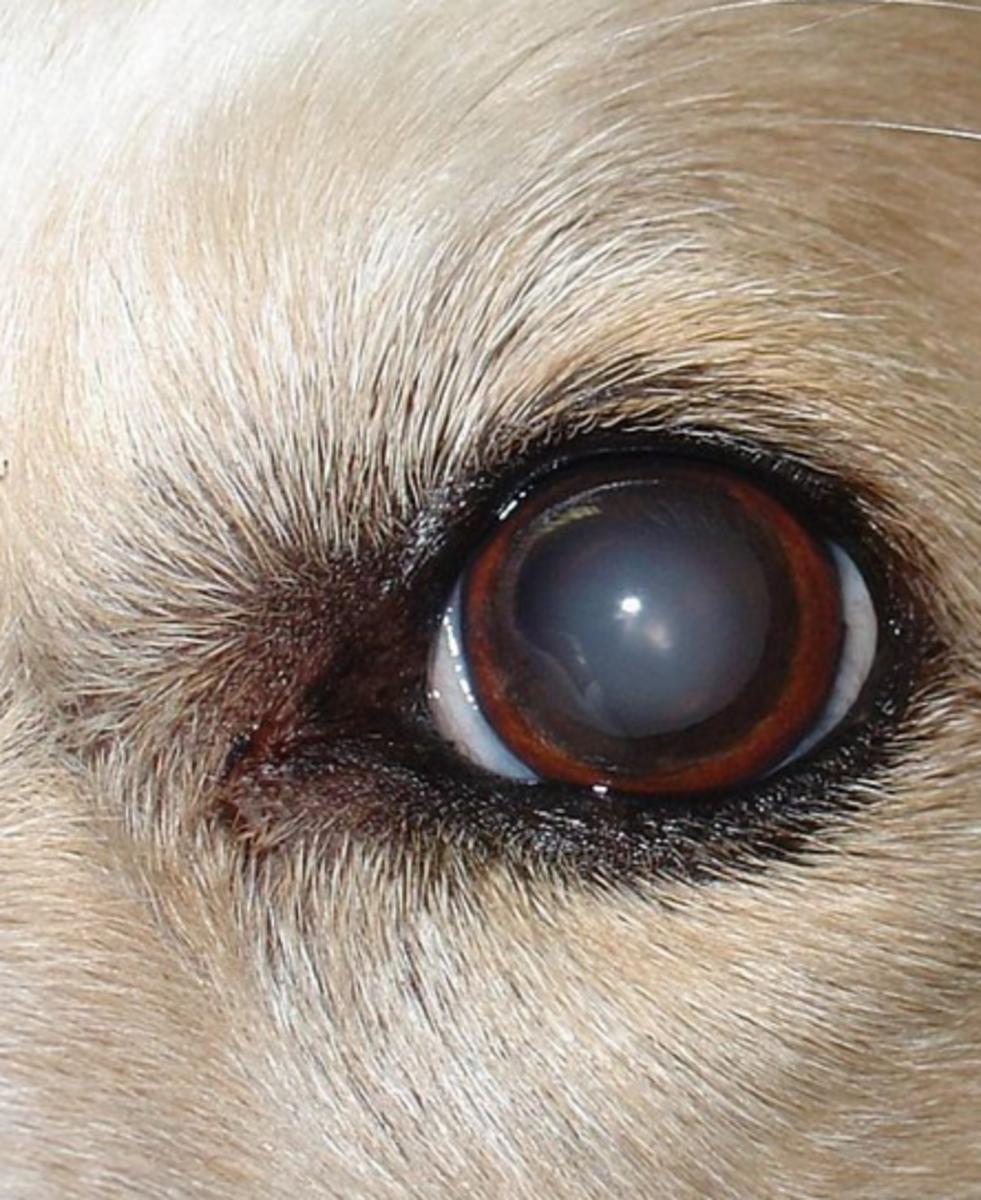 Bluish Eye In Dogs