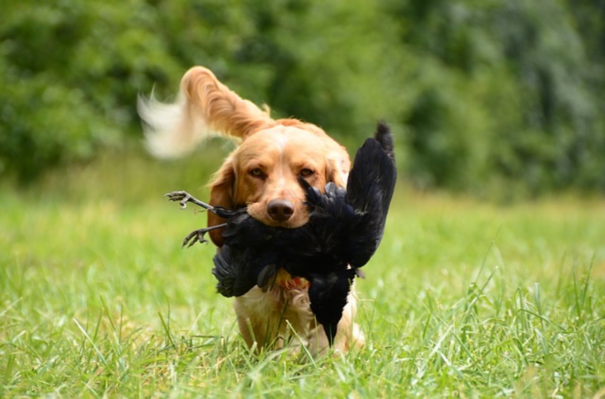 Golden retrievers were selectively bred to bring downed game to the hunter