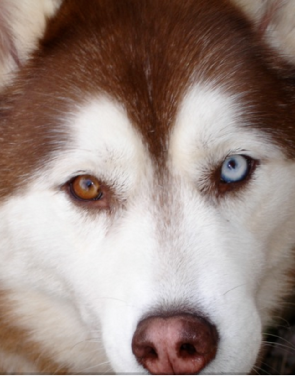 Tan Dog With Blue Eyes