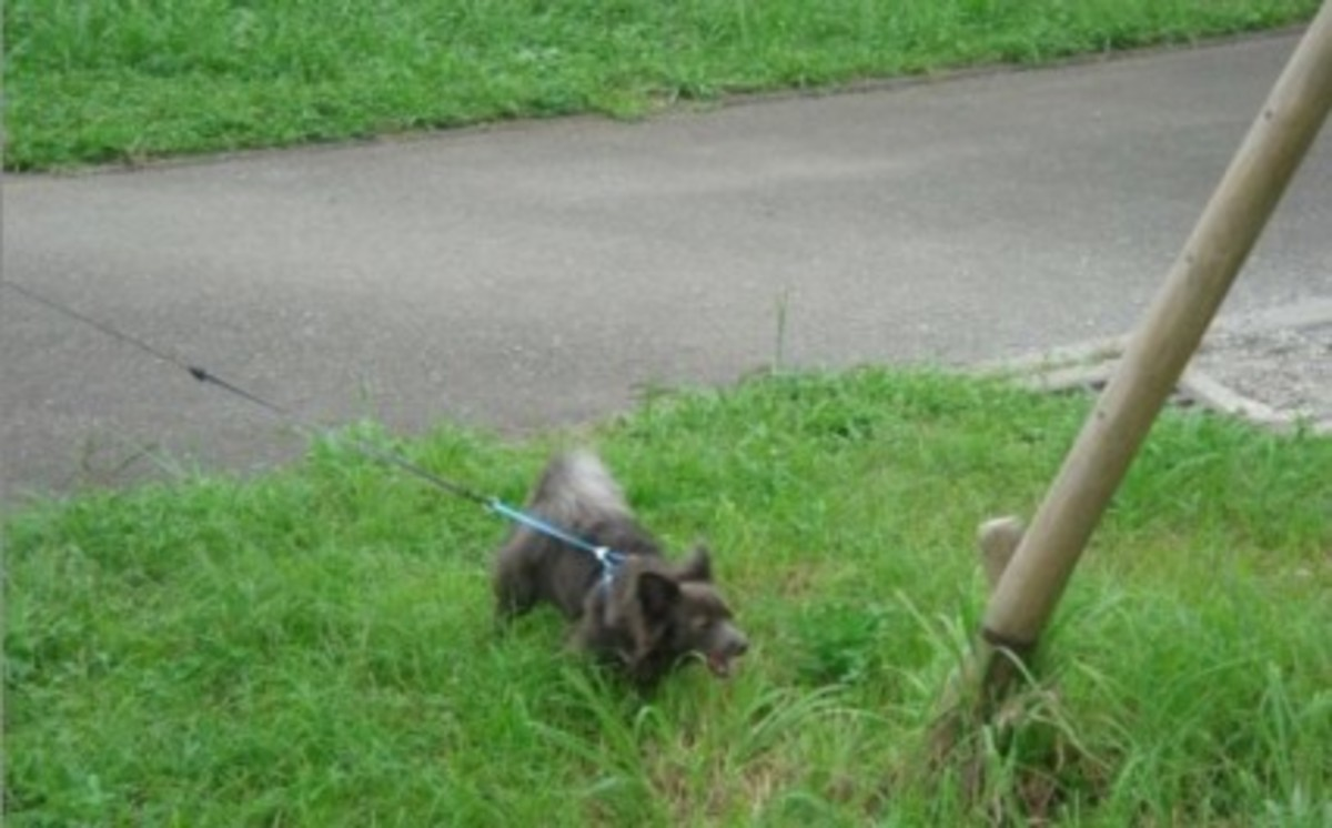 Retractable leashes encourage dogs to pull.