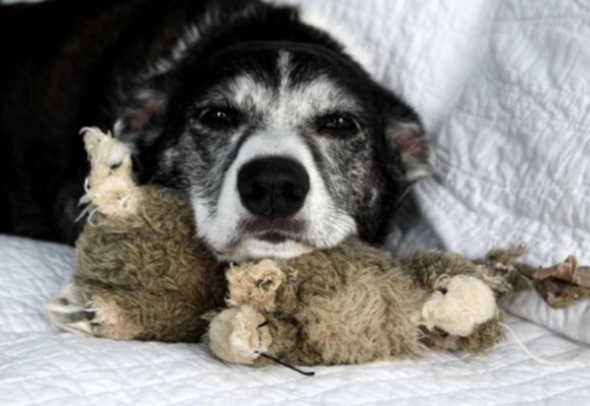 Senior dogs may bark and pace at night.
