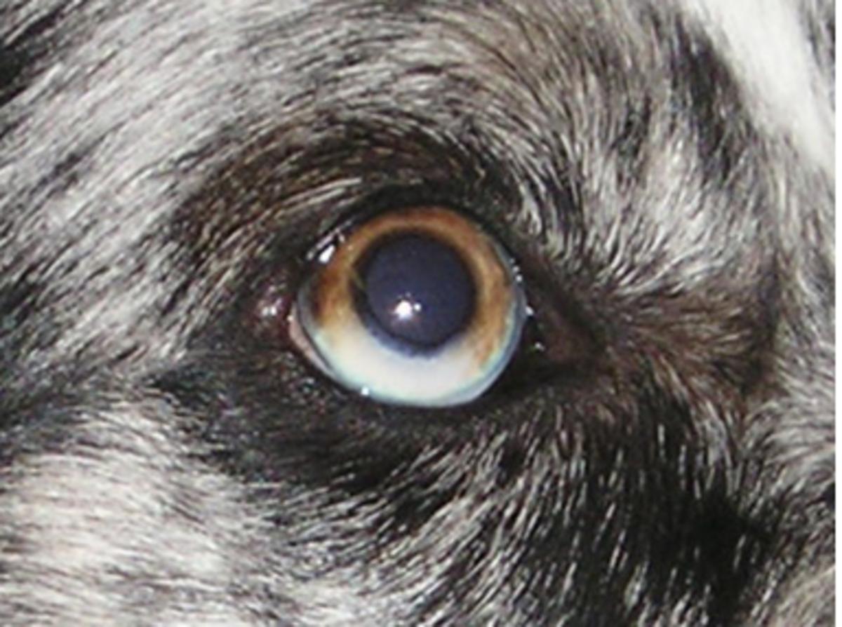Sectoral heterochromia in dog