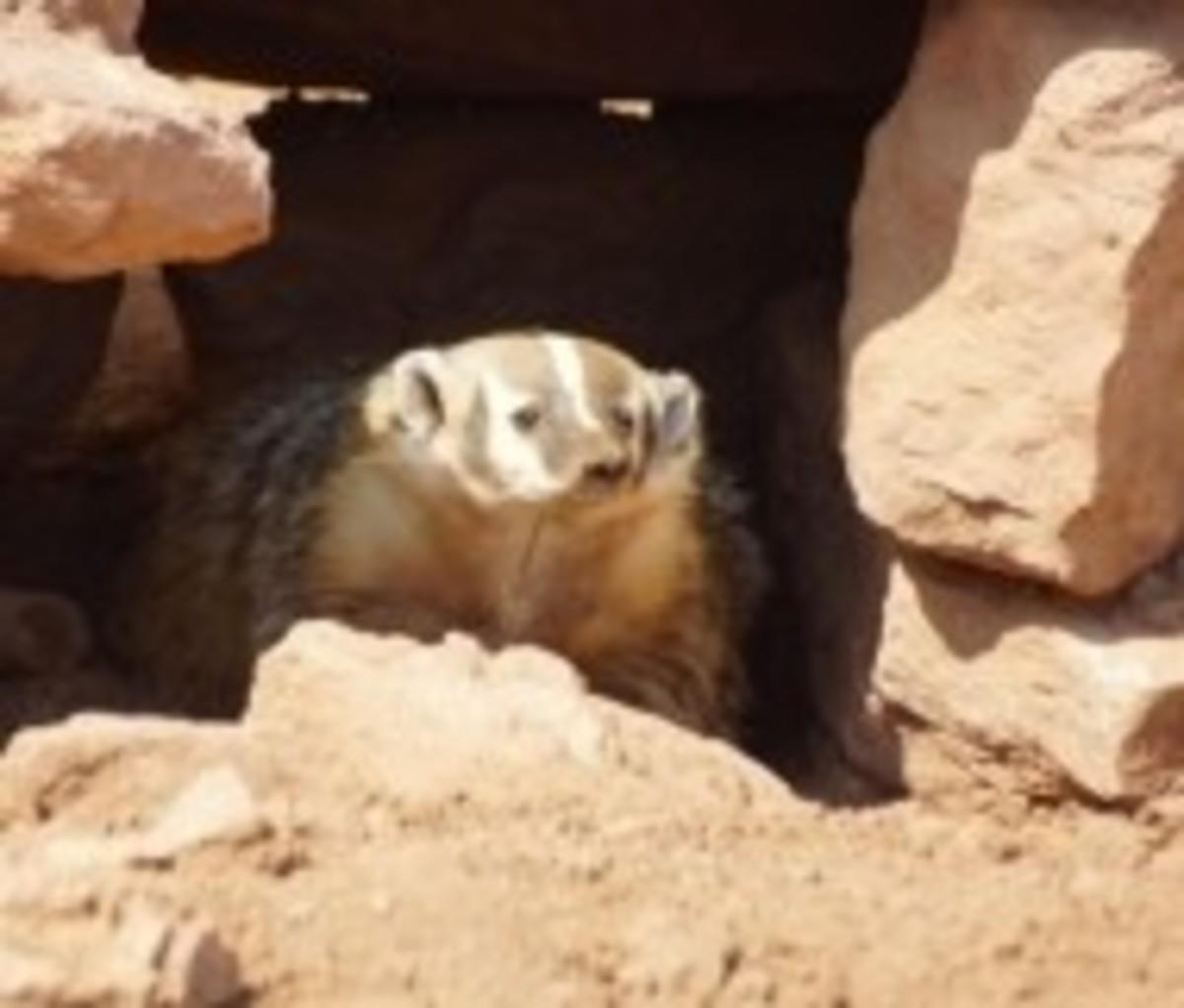 Meet the badger