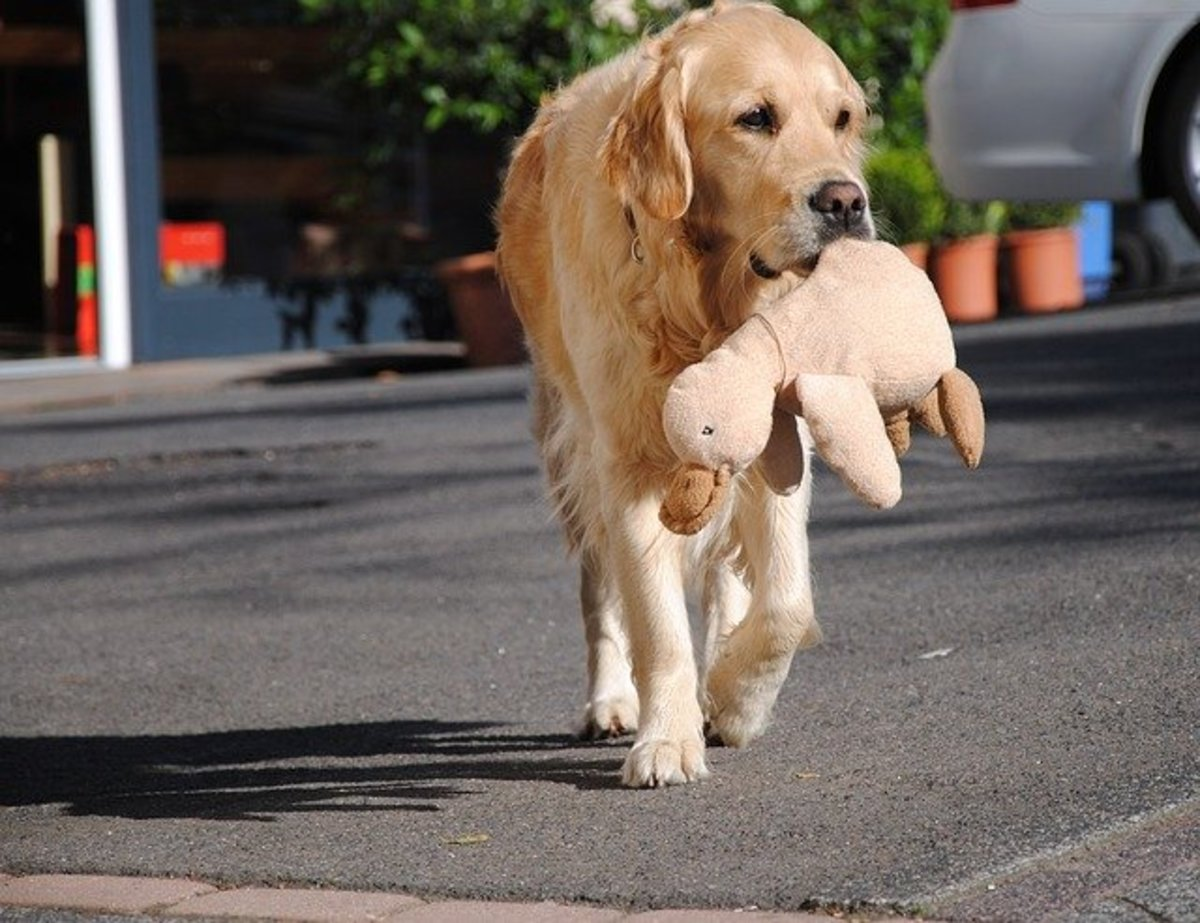 This Golden retriever is carrying a stuffed animal as if it was a real bird
