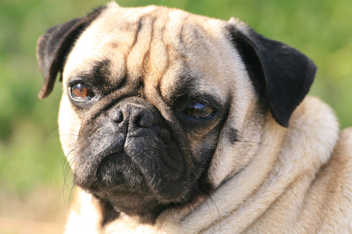 Surprise! Pugs rank second place for bad hips.