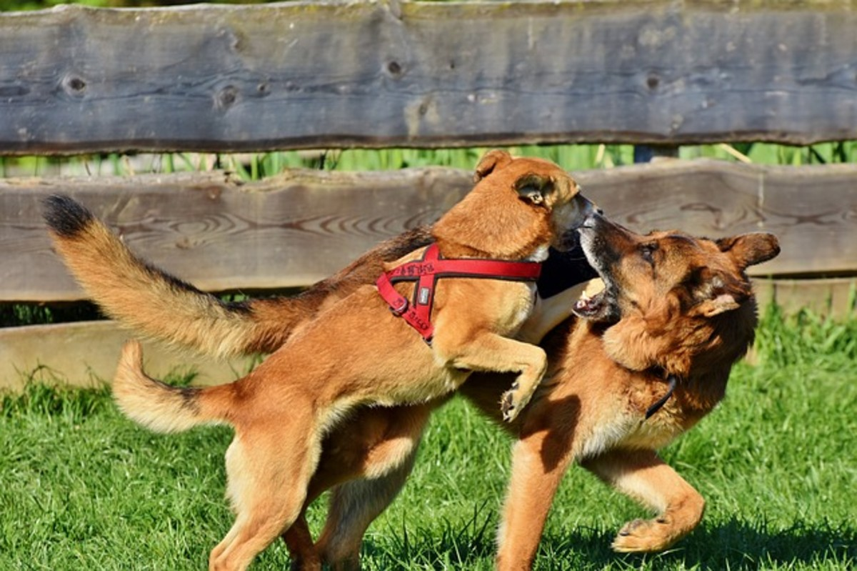 Dogs may also pull back their ears when they are play fighting to intend no harm and possibly for protection