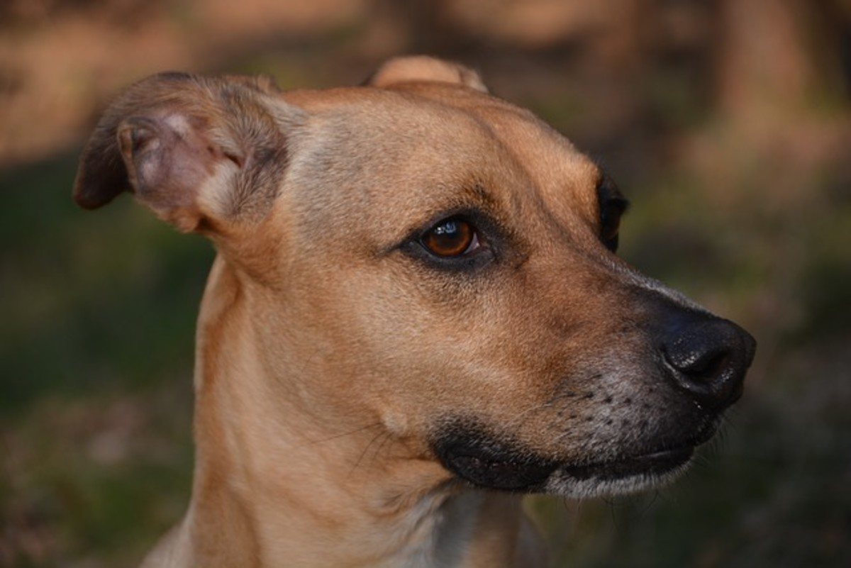 And of course, dogs may also pull their ears back to attend to sounds located behind them and evaluate a situation. This dog seems to be concentrated on something and ready for his next move