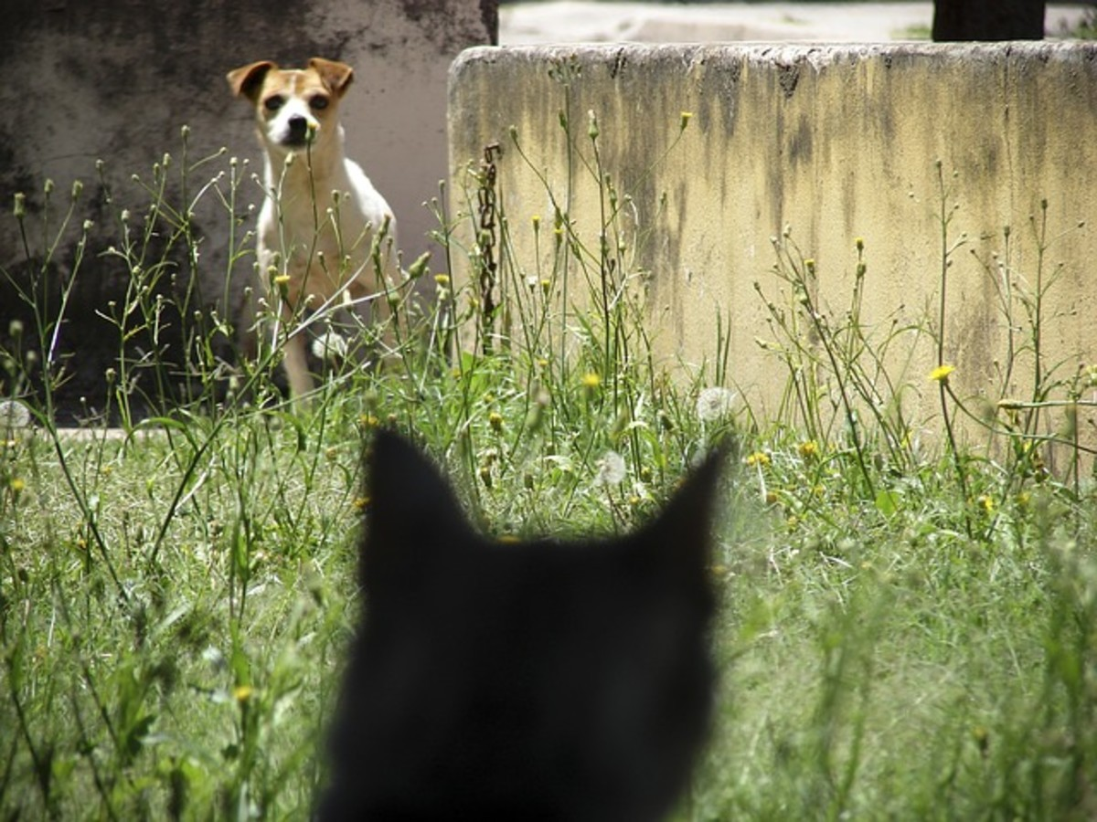 For some dogs prey drive is so powerful the chase risks ending in the death of the cat