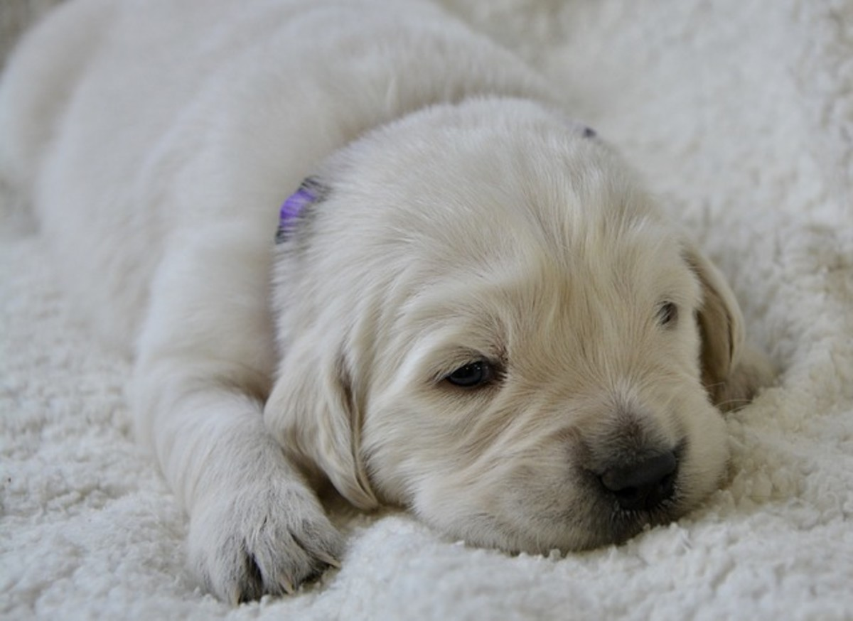 Puppy eyes are blue and have a cloudy look to them. They are quite fragile in the first weeks