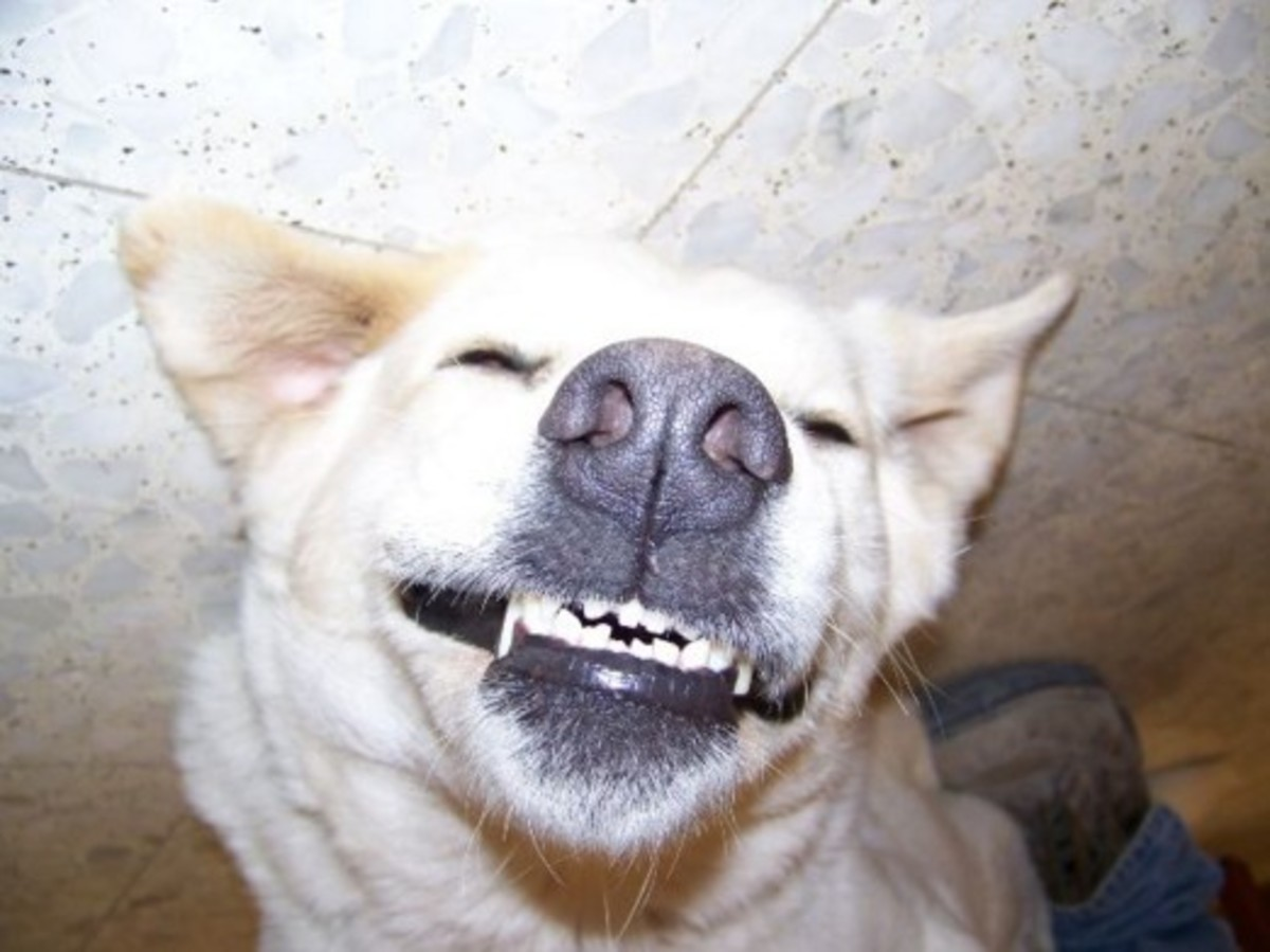 Why Do Dogs Show Their Teeth When Guilty