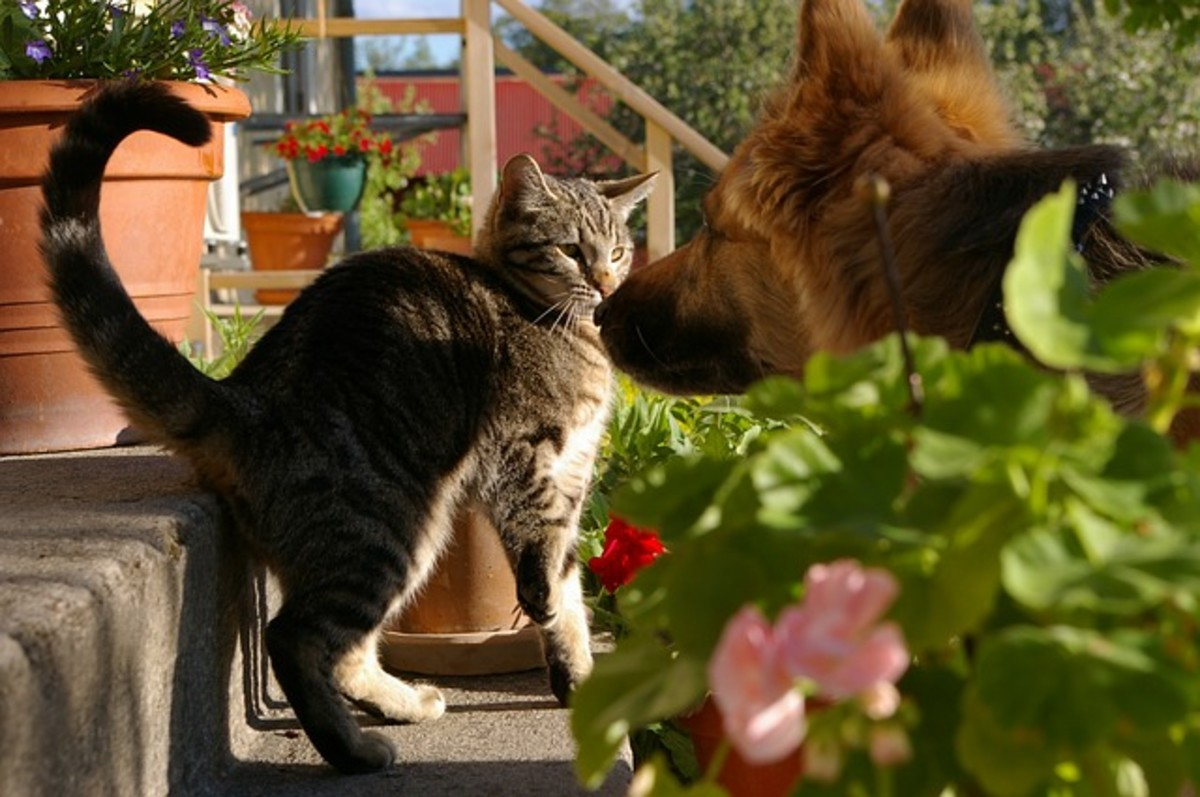 A cat's quick movements attract the dog, inciting him to chase