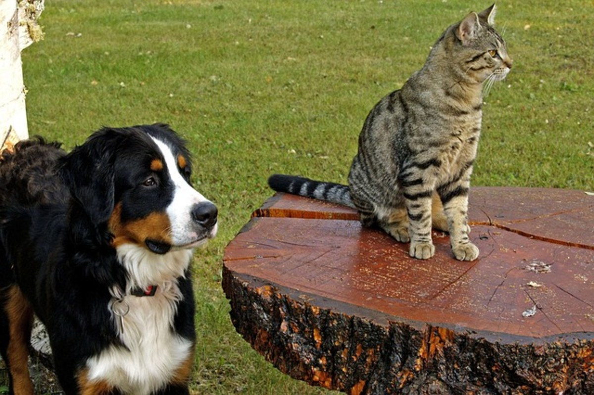 Many dogs will chase cats, and then once they have them cornered, they forget why they chased them in the first place