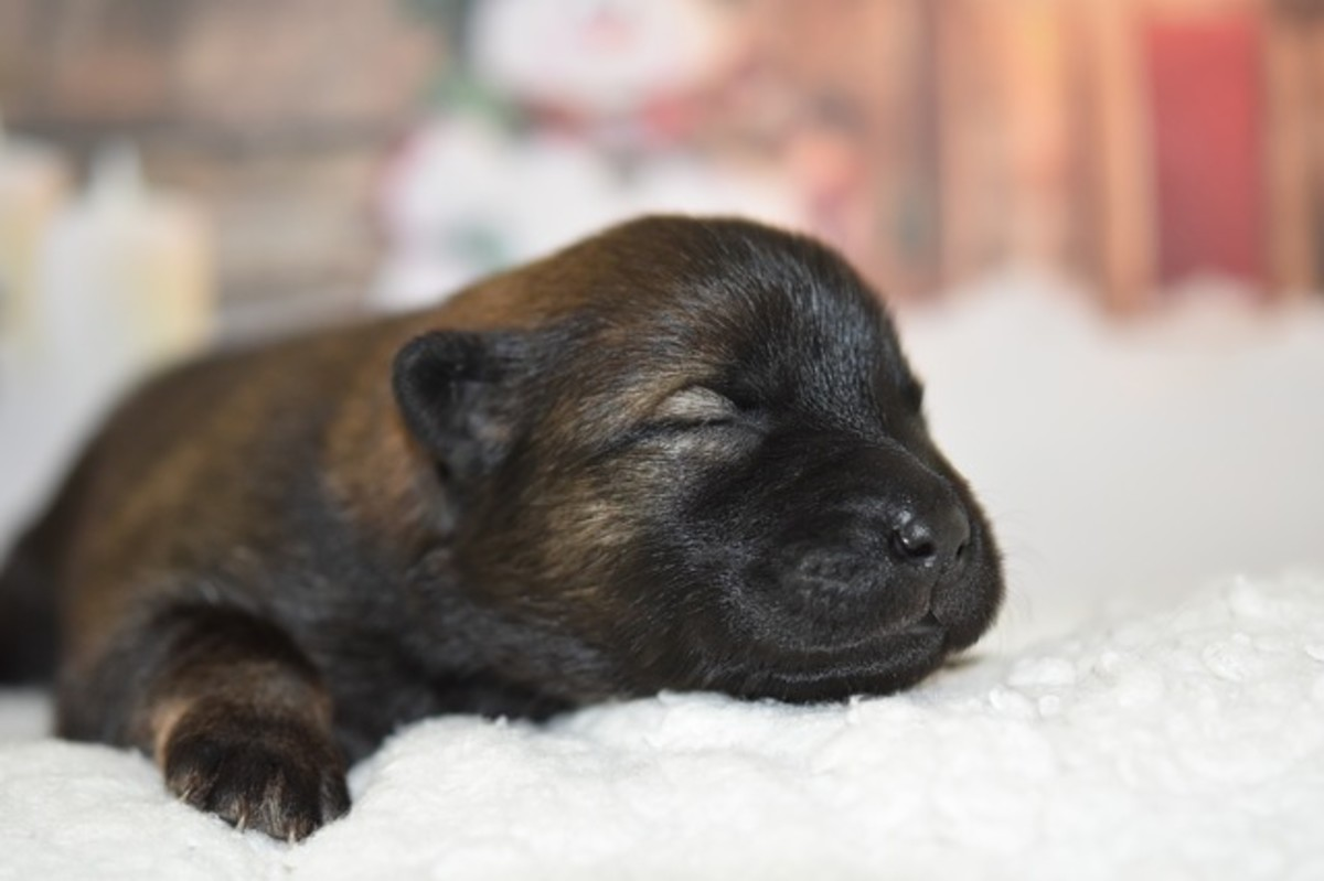 A puppy is blind and deaf at the neonatal stage