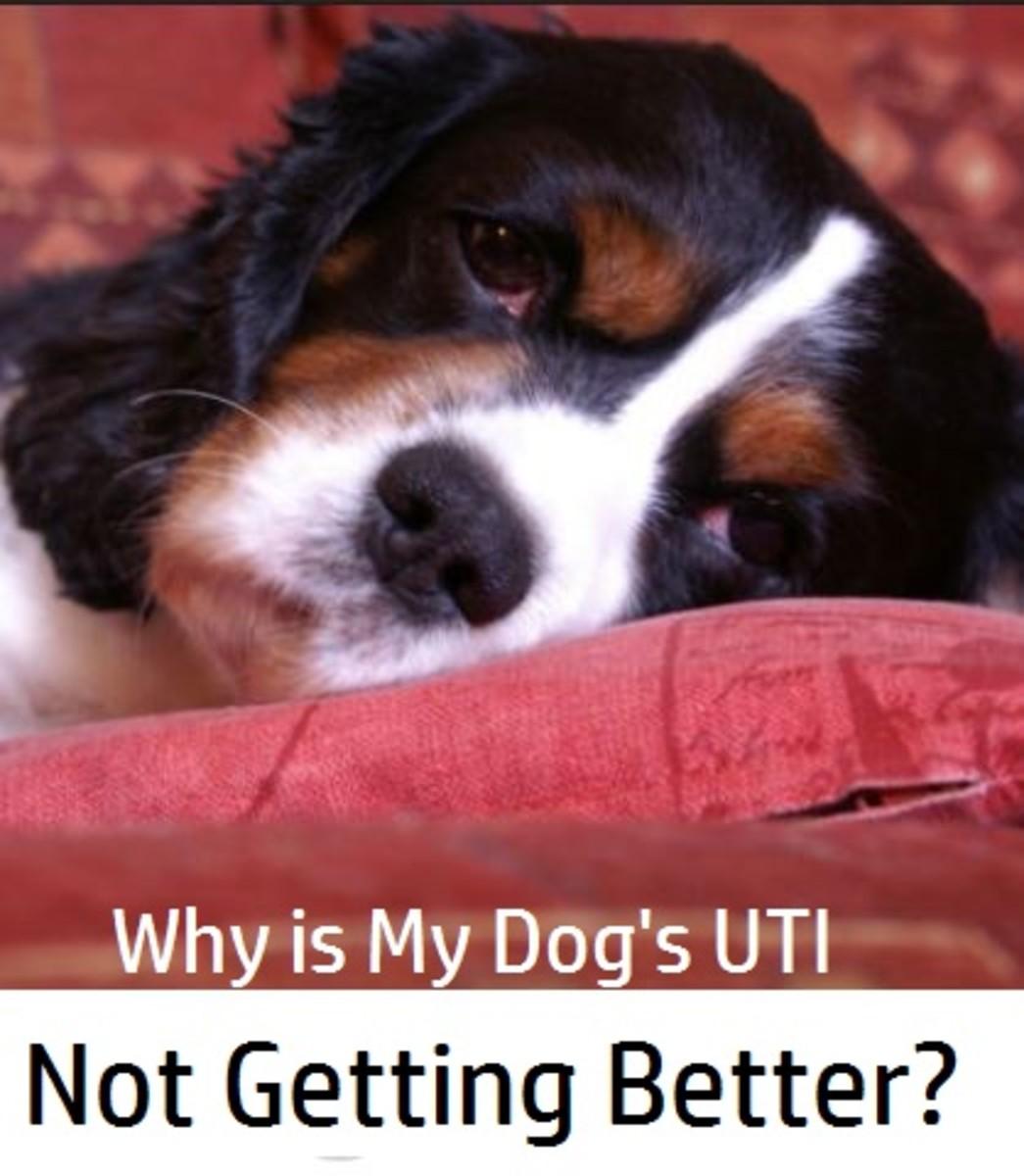 dog uti not getting better