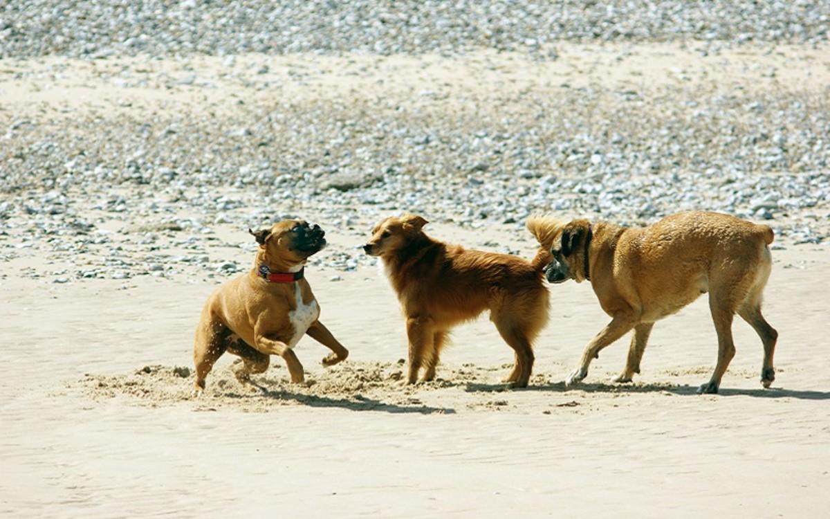 Aplastic Anemia in Dogs