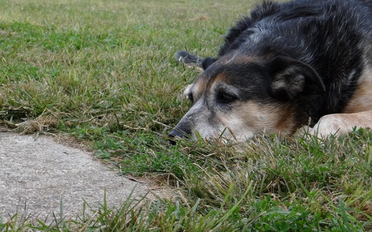 Ivermectin for Dogs