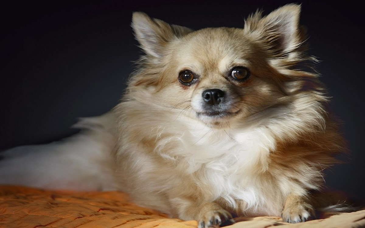 Dogs with Aspiration Pneumonia