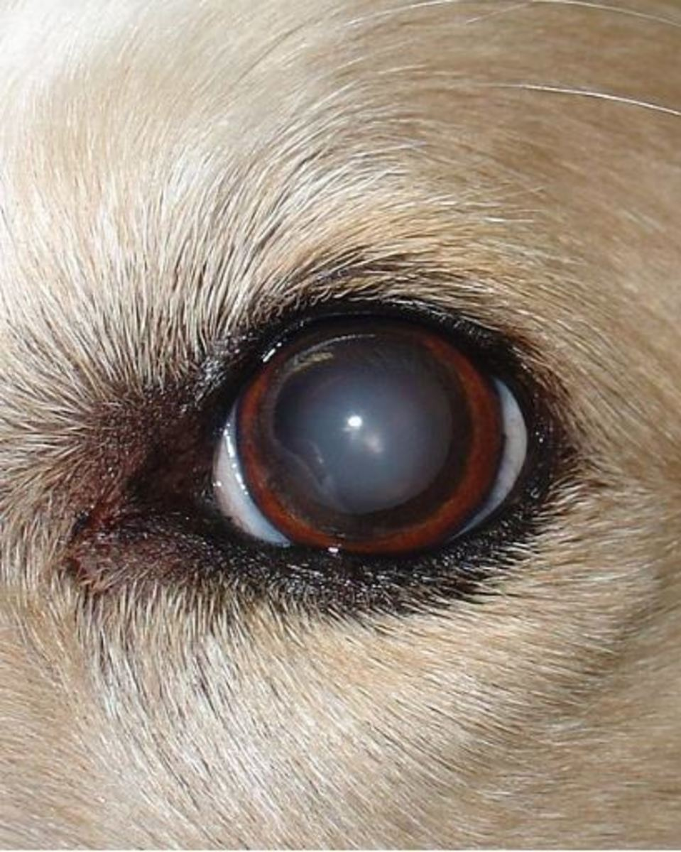 dog-nuclear-sclerosis-picture