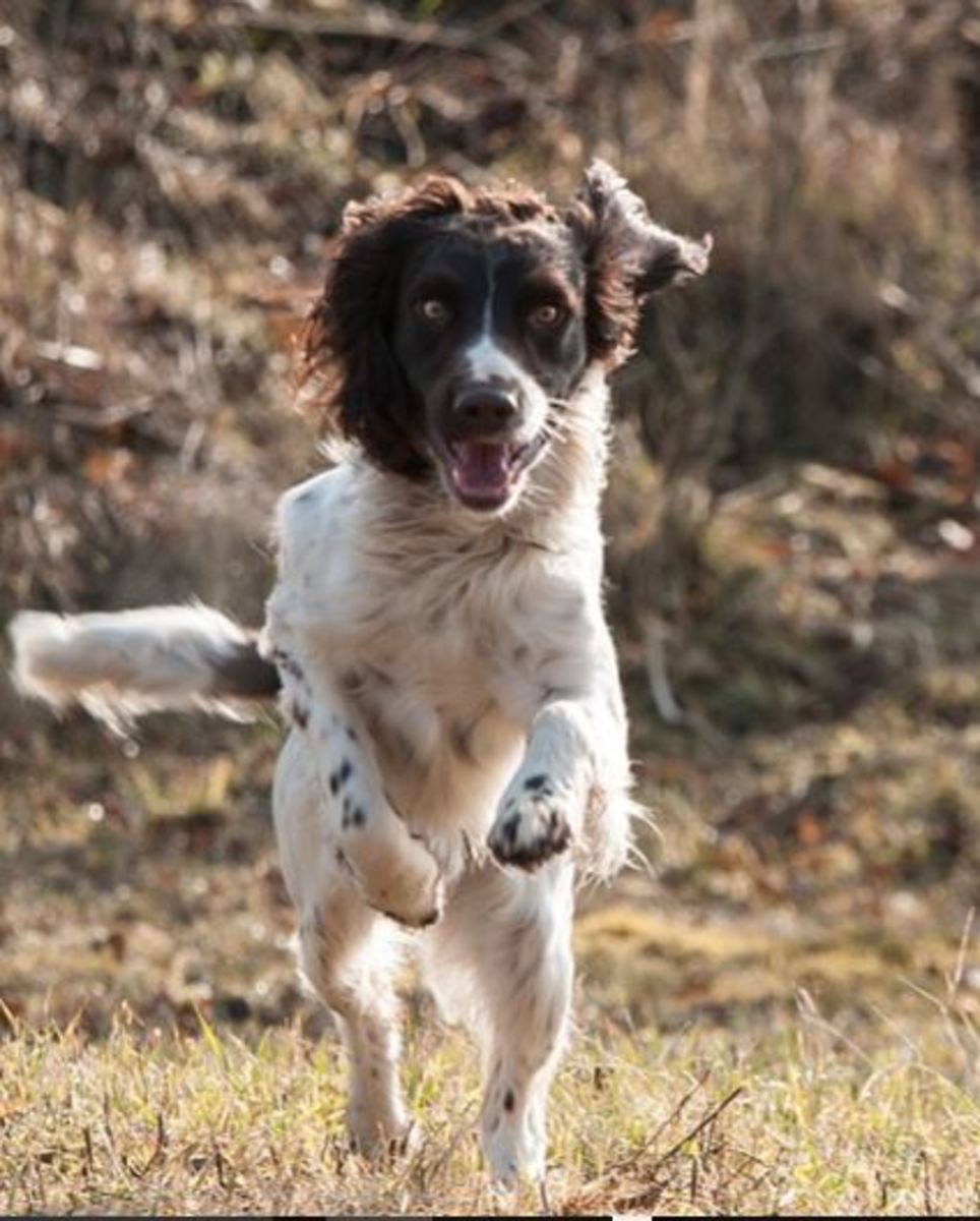 Close range gunshots can cause a ruptured eardrum in hunting dogs.