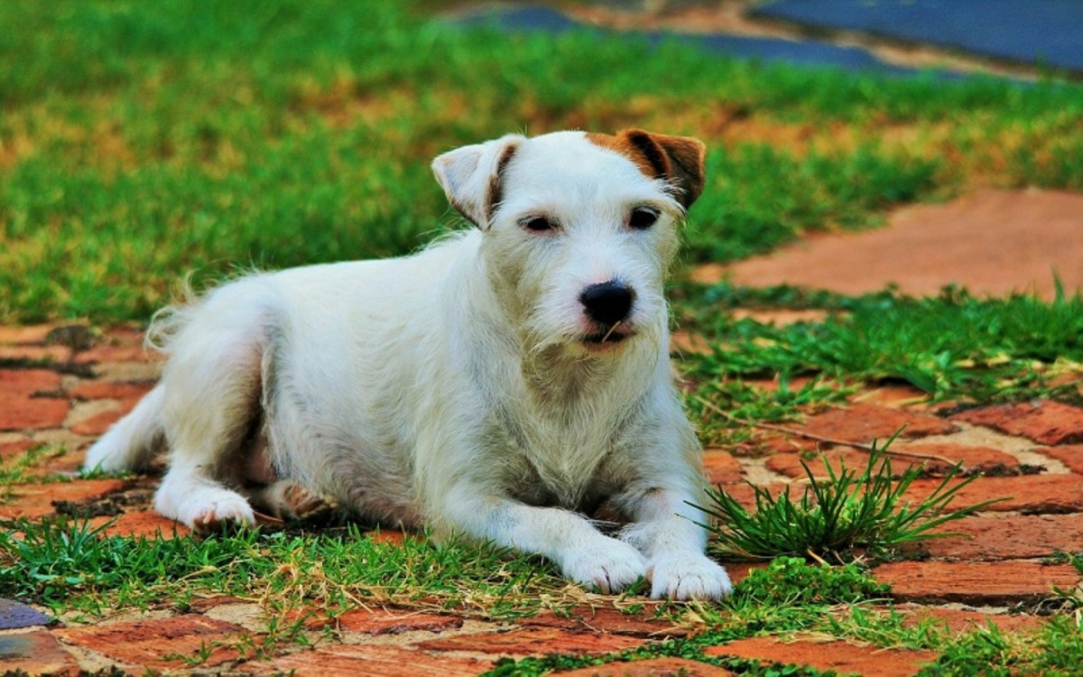 Causes of Paw Chewing in Dogs